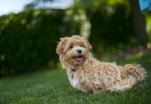 Why Older Adults Should Own a Maltipoo 1